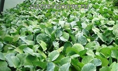 Выращивание рассады капусты из семян: когда и как сеять