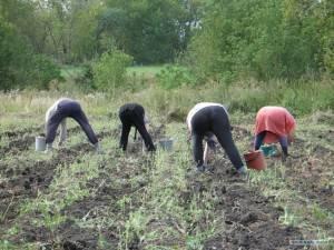 Копать крупный картошку