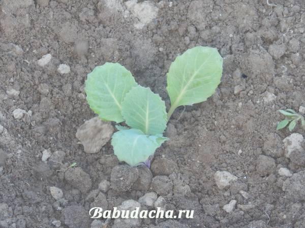 Когда сажать капусту на рассаду и в открытый грунт