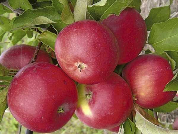Лучшие сорта яблонь для ленинградской области с фото и описанием