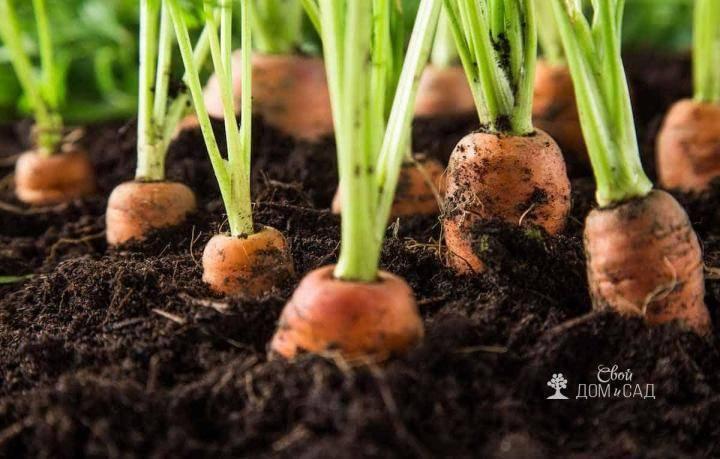 Как часто надо поливать морковь после посадки