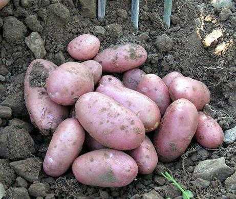 Cамые популярные раннеспелые и среднеранние сорта картофеля