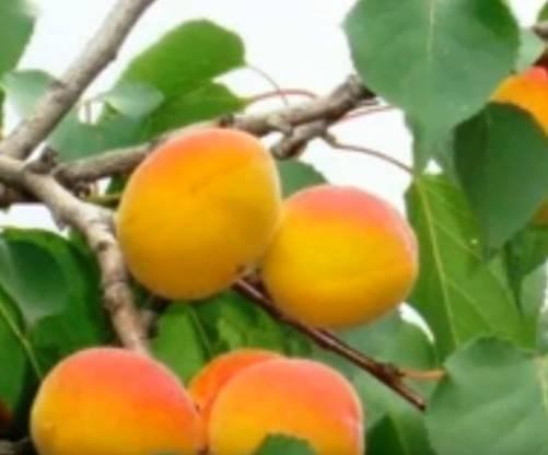 Сорт абрикоса академик