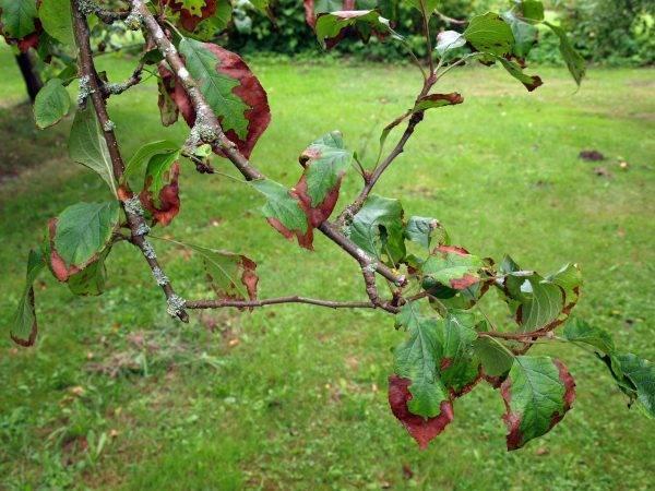 Болезни коры и ствола яблонь – эффективно борьба с вредителями и невзгодами!