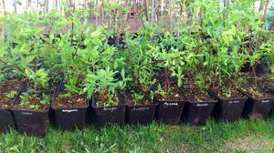 Жимолость: размножение, посадка и уход, выращивание   «на огороде»