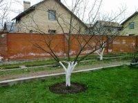 Посадка яблони весной