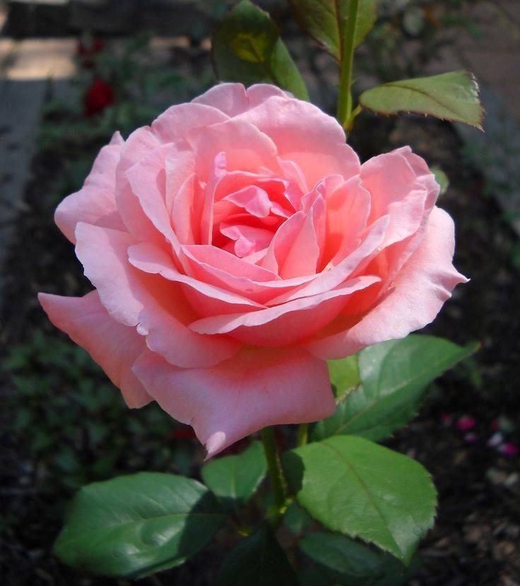 О розе квин элизабет (queen elizabeth): описание и характеристики сорта