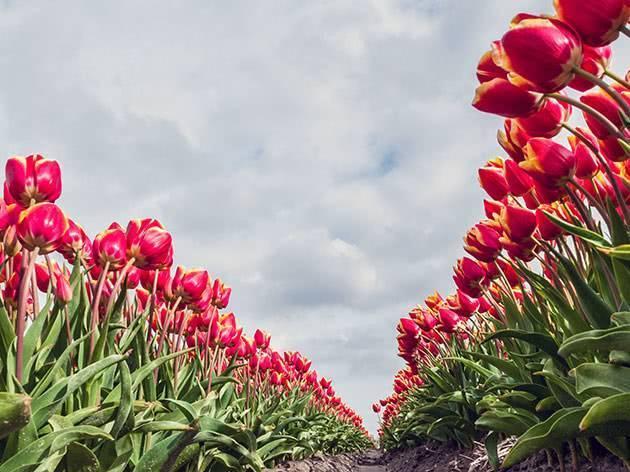 Посадка тюльпанов весной и осенью, как и когда сажать?