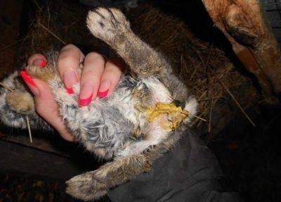 Понос у кролика — причины и лечение, что делать и чем лечить в домашних условиях