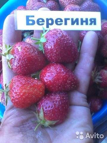 Раннеспелый урожайный сорт садовой земляники «надежда»: основные характеристики, уход