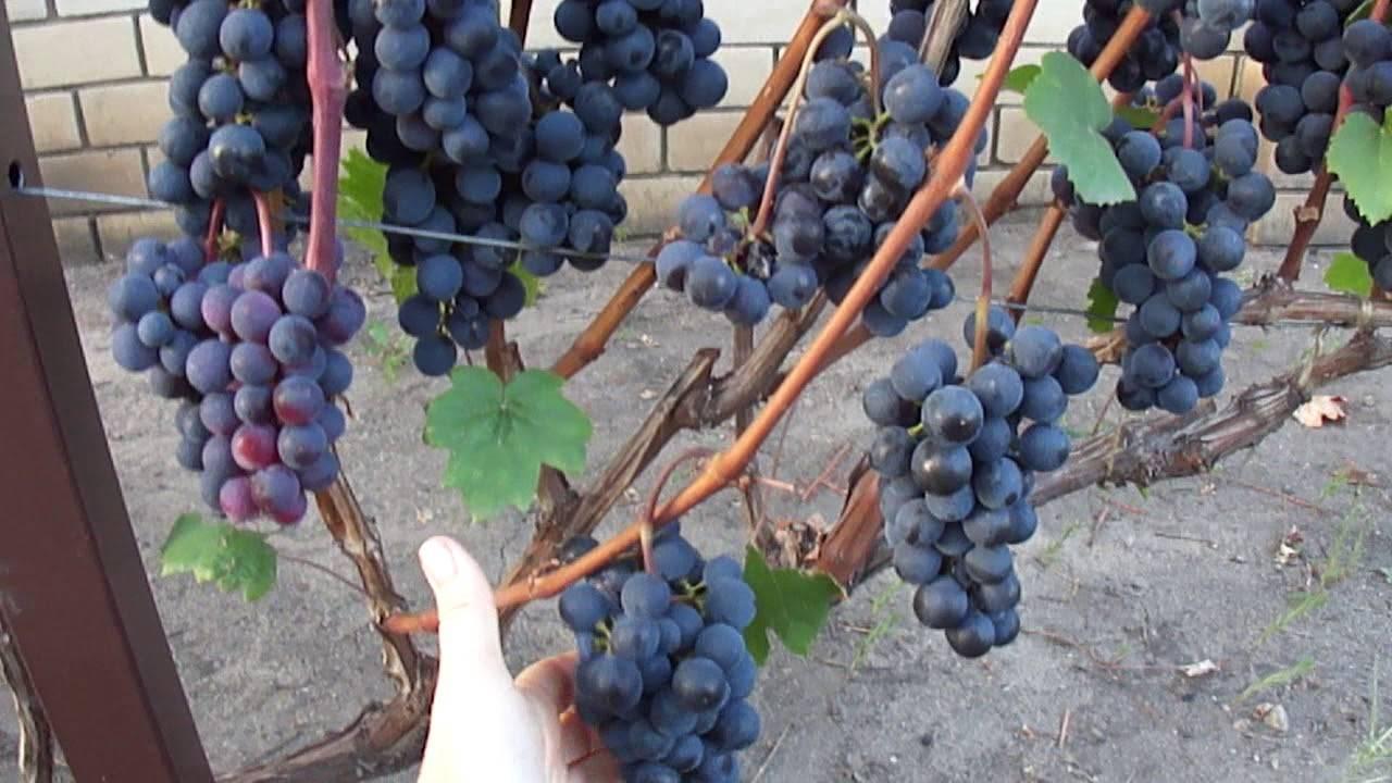 Фиолетовый ранний виноград — ягоды грибы