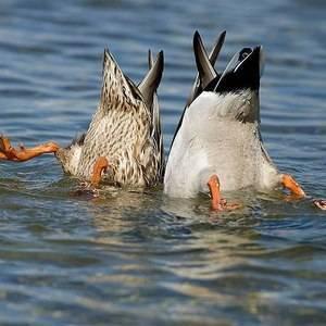 Чем отличается утка от гуся?