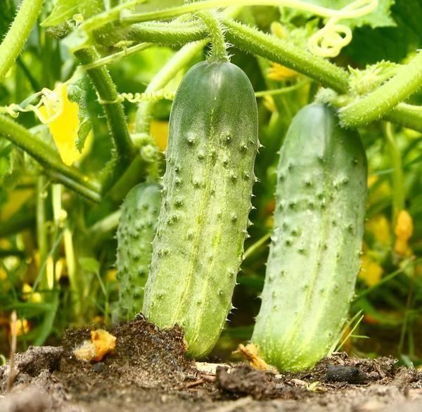 Скороспелый огурец с соответствующим названием форсаж f1: описание, агротехника, отзывы, фото
