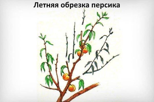 Обрезка персика - кропотливый и обязательный процесс