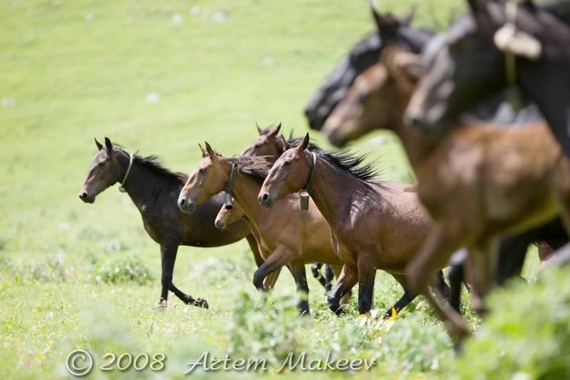 Карачаевская порода лошадей: фото, описание