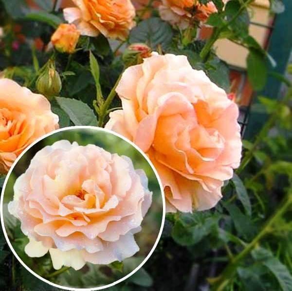 Как выращивается роза полька?