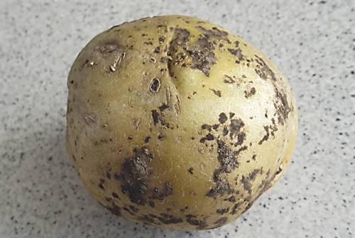 Серкадис – новое решение для всесторонней защиты картофеля от ризоктониоза, серебристой парши, антракноза, альтернариоза листьев и др. болезней картофеля.