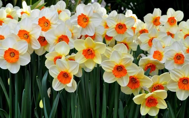 Подарили нарциссы в горшке на 8 марта: как ухаживать за цветами и что с ними делать дальше