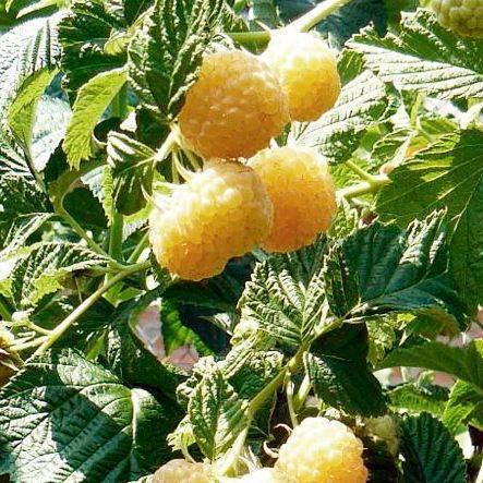 Посадка и выращивание крупноплодной ароматной малины сорта желтый гигант