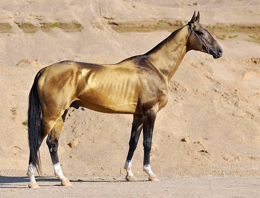 Ахалтекинская лошадь — википедия переиздание // wiki 2