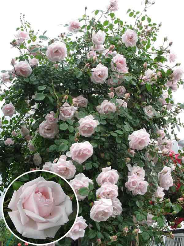Плетистая роза «new dawn» для начинающих розоводов