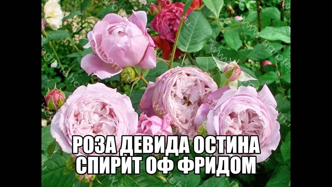 Роза спирит оф фридом
