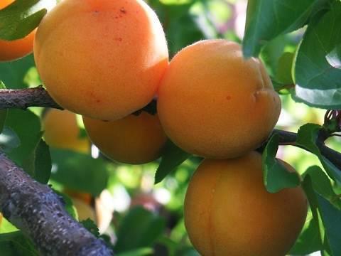 Посадка абрикоса в условиях средней полосы россии