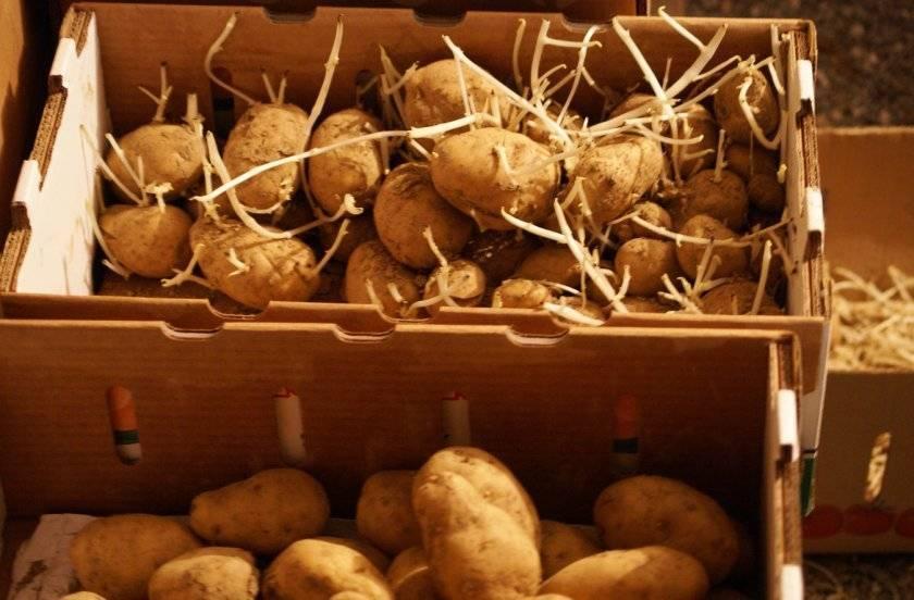 Картофель альвара: описание и характеристика, агротехника посадки и ухода