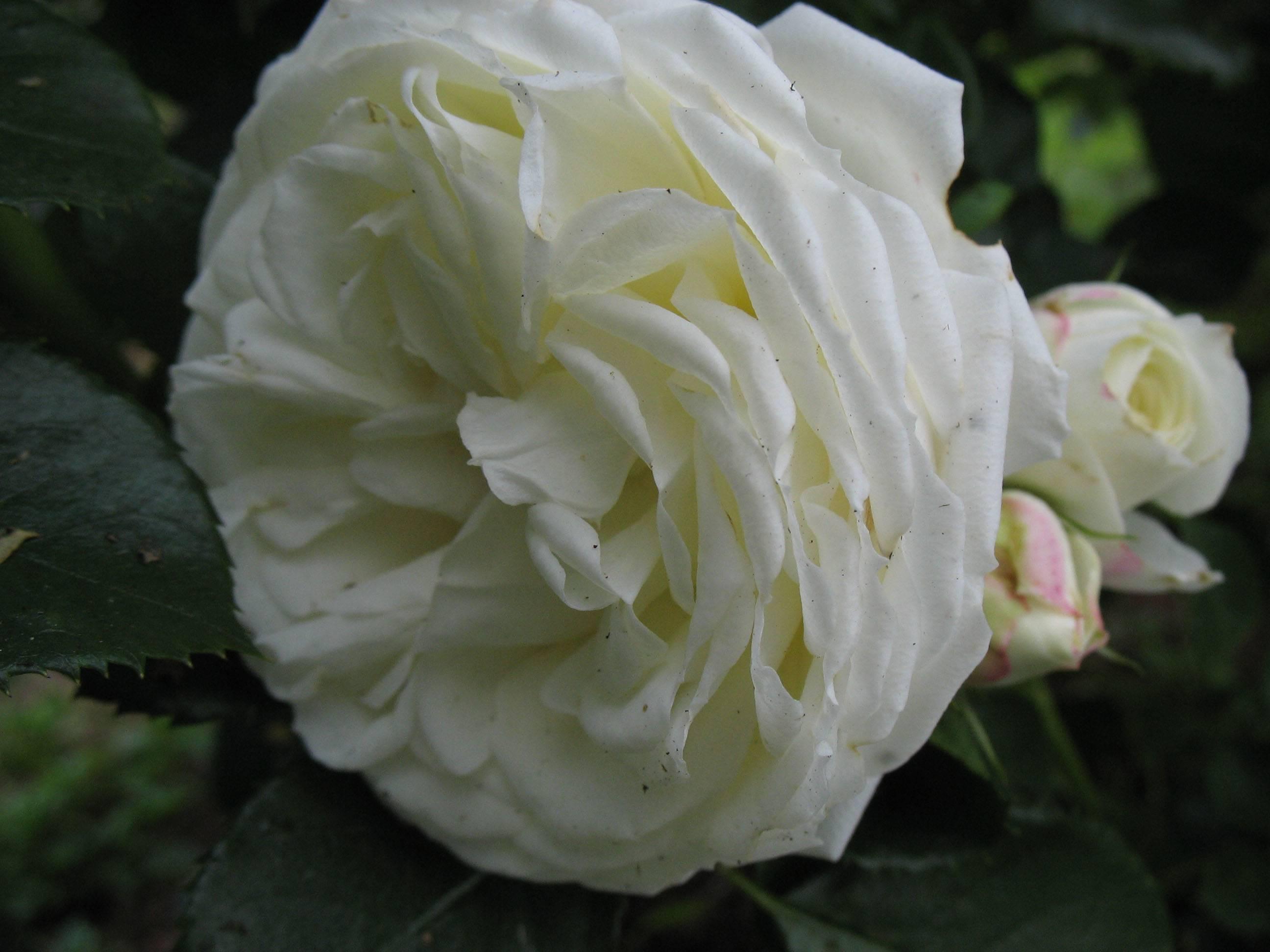 Роза чайно-гибридная vanilla. роза чайно-гибридная vanilla общая информация и история создания сорта