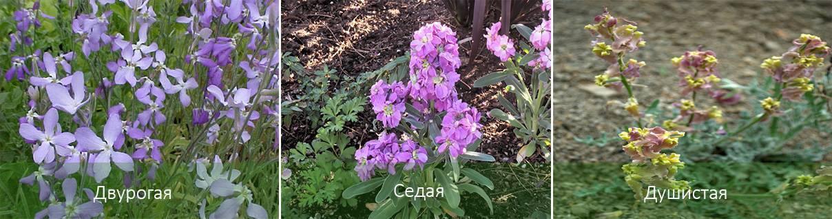 Маттиола выращивание из семян когда сажать цветы на рассаду