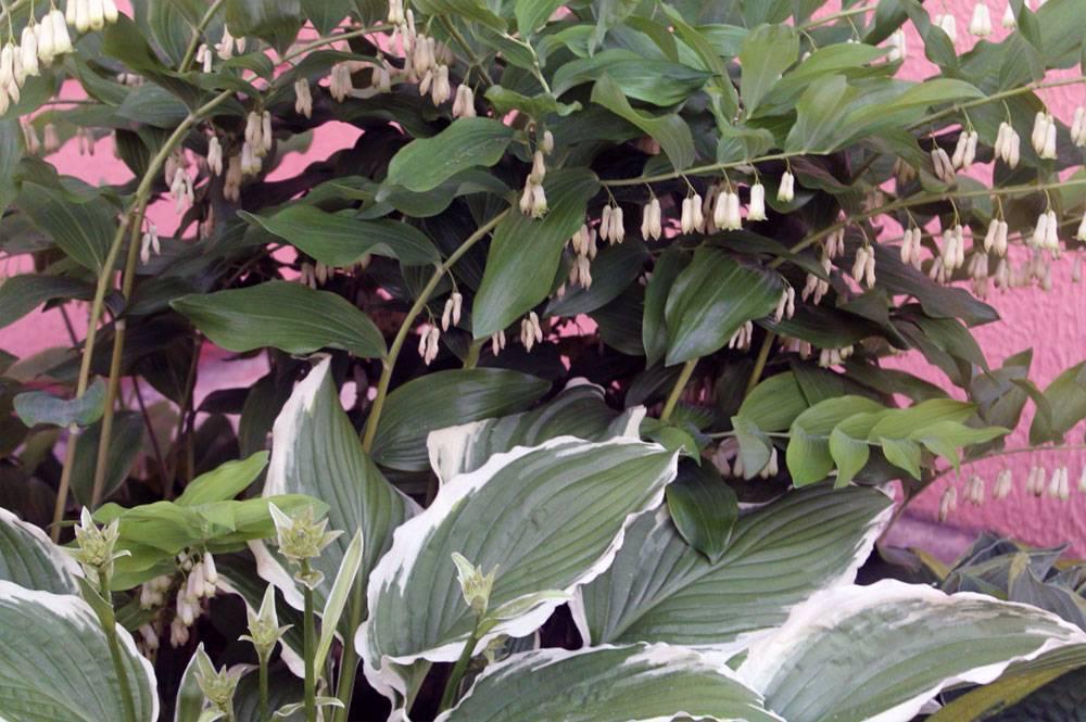 Лучшие советы по выращиванию купены в своем саду