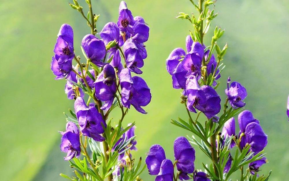 Все о цветке аконит: внешний вид растения, где растет, сфера использования