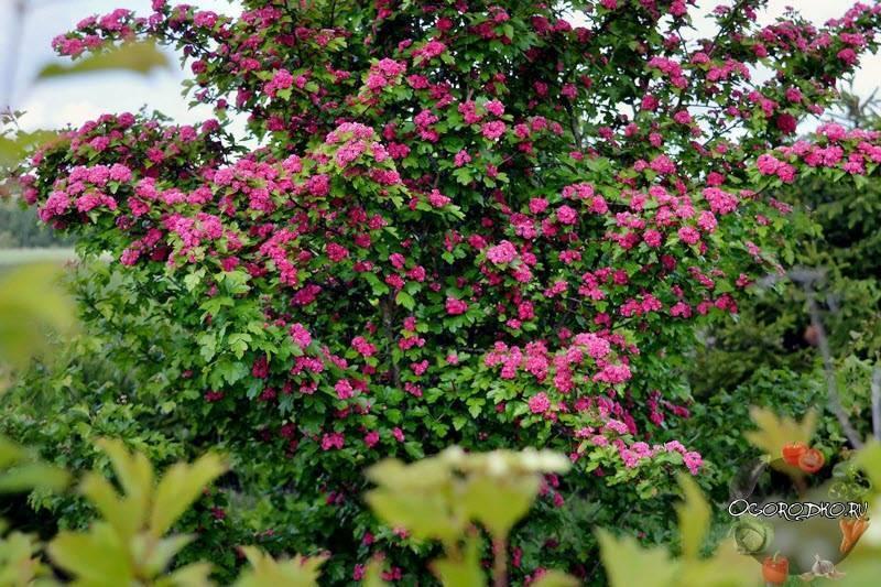 О кустарниках многолетниках: зимостойких, цветущих, неприхотливых