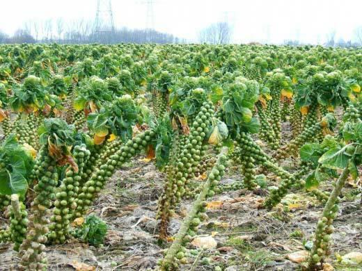 Брюссельская капуста - выращивание