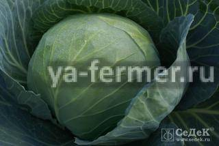 Выращивание и хранение капусты сорта «сахарная голова»