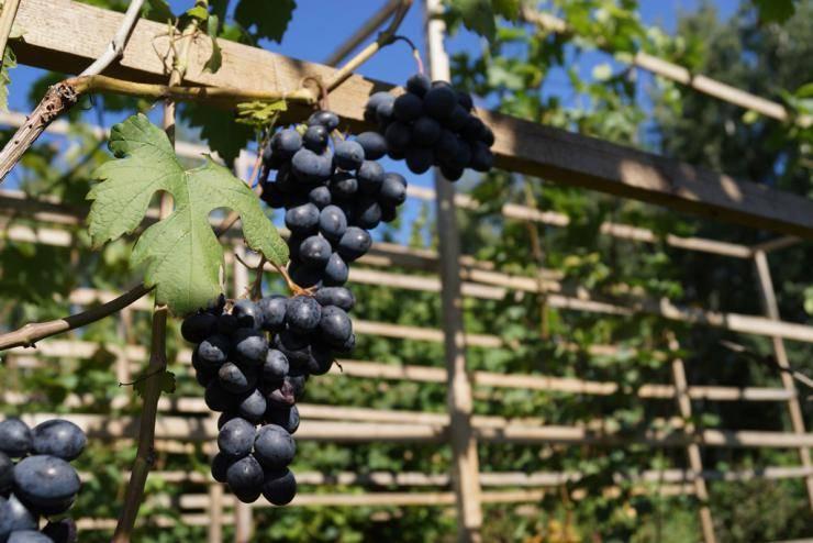 Эффективный способ размножения винограда черенками осенью