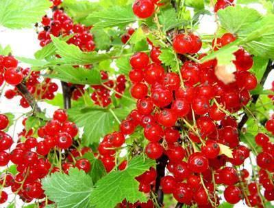 Почему русские садоводы любят красную смородину ровада