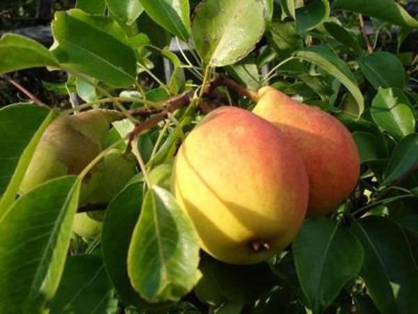 Почему яблоня сбрасывает плоды до их созревания причины и что делать