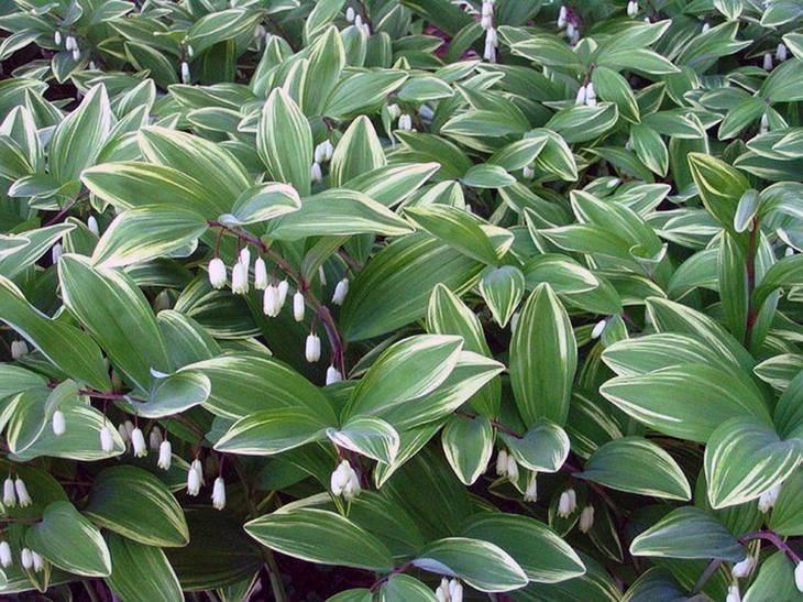 Купена - посадка и уход в открытом грунте, выращивание в саду