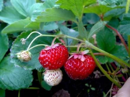 Клубника мице шиндлер: позднеспелый сорт с прекрасным вкусом ягод