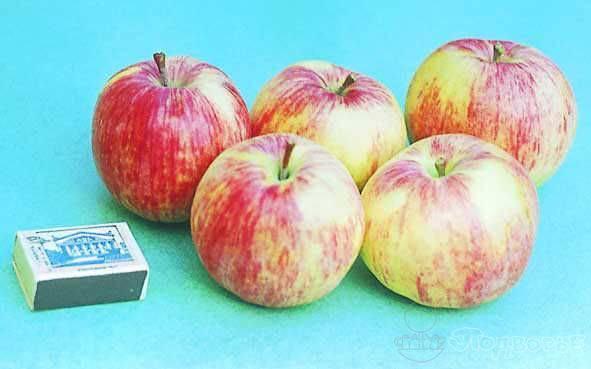 Яблоки бельфлер китайка описание