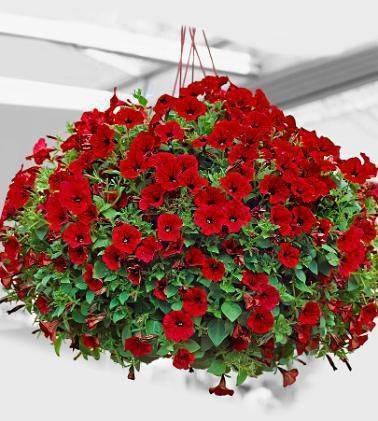 Описание ампельной петунии — выращивание и уход, прищипывание цветка