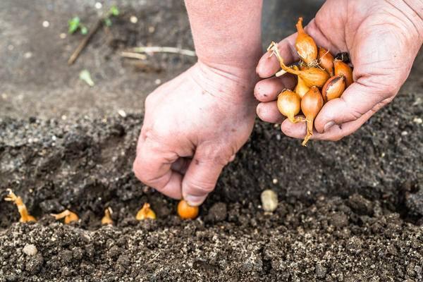 Соседи по грядке: какие овощи можно сажать рядом друг с другом и после каких