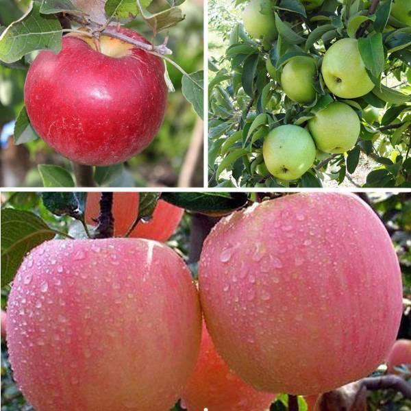 О яблоне вэм розовый: описание сорта, характеристики, агротехника, выращивание