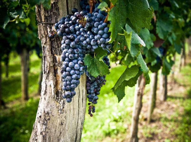 Сорт винограда мерло фото