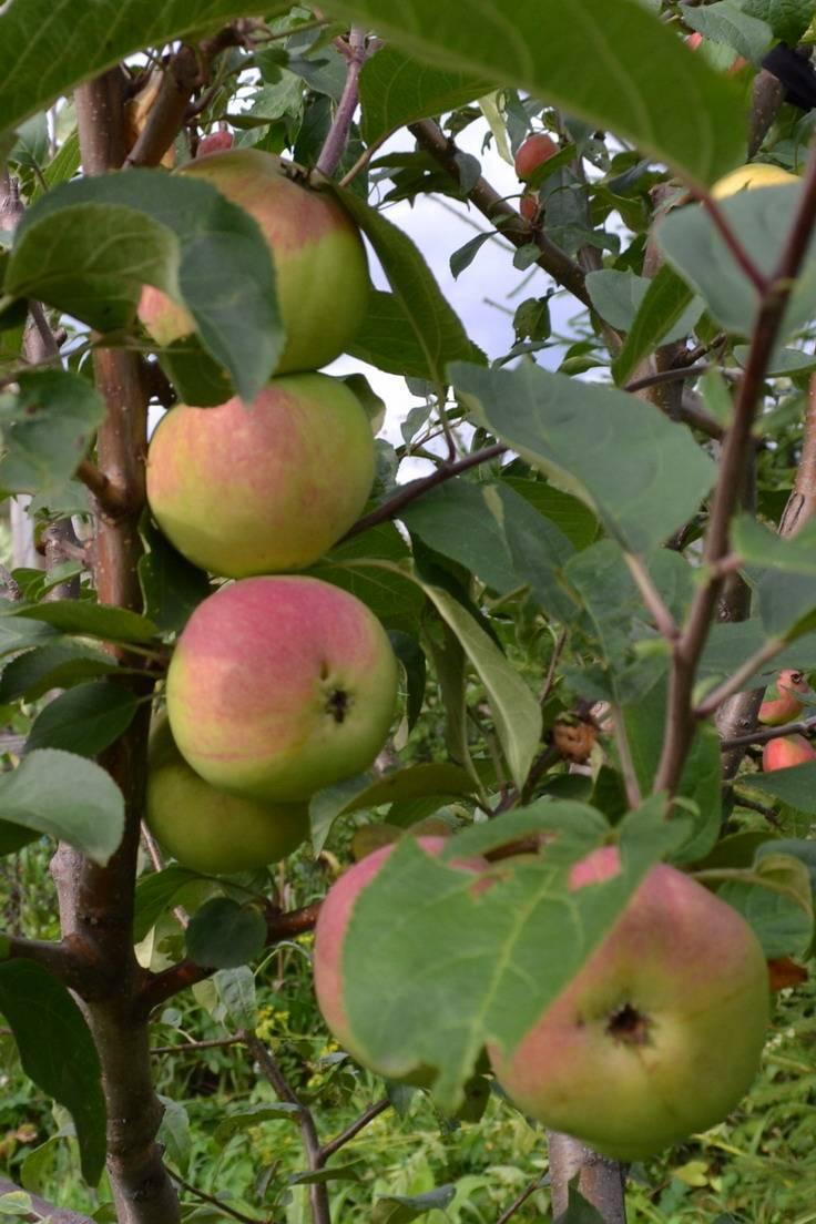 Какие существуют иммунные сорта яблонь, устойчивые к парше
