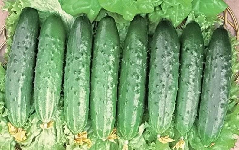 Посадка огурцов в 5 литровых бутылках — создаем огород на балконе