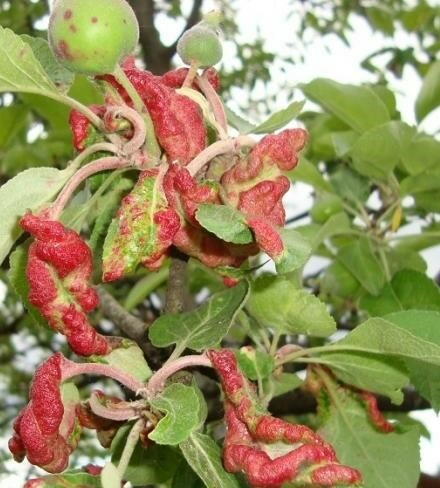 Что делать если у яблони скручиваются листья.