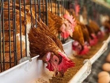 Чем кормить кур несушек зимой в домашних условиях