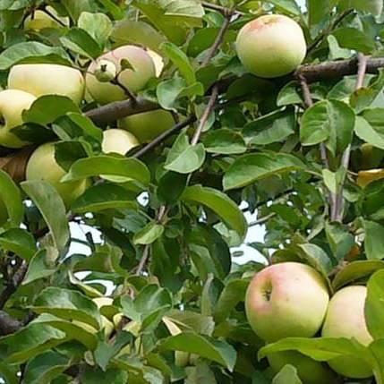 Яблоня имрус